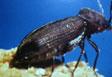 Escarabajo del reloj de la muerte
