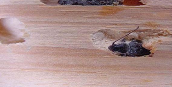 Carcoma y polillas en alicante alisan desinfecciones for Polilla madera imagenes